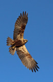 Falco di Palude - Marsh Harrier