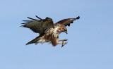 Poiana - Common Buzzard