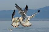 Gabbiano Reale- Yellow legged Gull