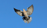 Tortora dal collare - Collared Dove