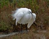 Garzetta - Little Egret
