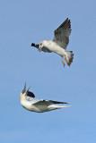 Sula e Gabbiano Reale - Gannet and Yellow Legged Gull