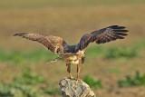Poiana con preda - Buzzard with prey