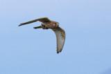 Gheppio con preda - Kestrel with prey