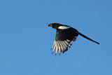 Gazza con preda - Magpie with prey