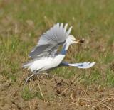 Airone Guardabuoi con preda - Cattle Heron with prey