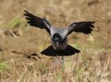 Cornacchia Grigia - Carrion Crow