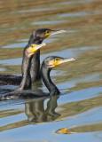 Cormorani - Cormorants