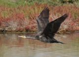 Cormorano - Cormorant