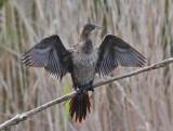 Marangone minore - Pygmy Cormorant