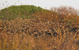 Colombacci - Pigeons