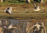 Oche selvatiche - Greylag Geese