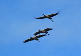 Gru - Cranes