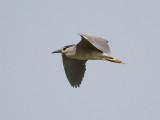 Natthäger  Black-crowned Nigh Heron  Nycticorax nycticorax