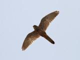 Tornfalk  Falco tinnunculus Common Kestrel