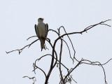Svartvingad glada  Black-shouldered Kite Elanus caeruleus