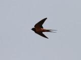 Ladusvala  Barn Swallow Hirundo rustica transitiva