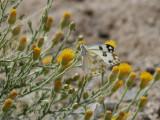 Pontia glauconome  Desert Bath White