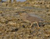Mangrovehäger  Striated Heron  Butorides striatus