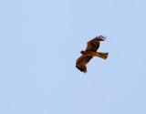 Dvärgörn  Booted Eagle Aquila pennatus