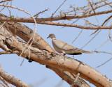 Afrikansk turkduva  African Collared Dove  Streptopelia roseogrisea