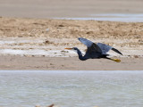 Revhäger  Western Reef Heron Egretta gularis