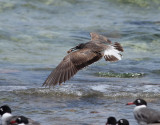Vitögd mås  White-eyed Gull Ichthyaetus leucophthalmus
