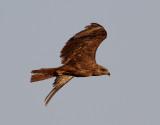 Brunglada  Black Kite  Milvus migrans