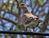 Turturduva  Streptopelia turtur rufescens European Turtle Dove