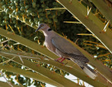 African Mourning Dove Streptopelia decipiens