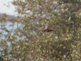 Kungsfiskare  Kingfisher  Alcedo atthis