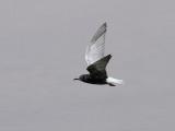 Vitvingad tärna  Chlidonias leucopterus White-winged Tern