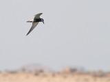 Skäggtärna  Whiskered Tern Chlidonias hybridus