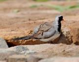 Långstjärtsduva  Namaqua Dove Oena capensis