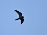 Sotfalk  Sooty Falcon  Falcon concolor