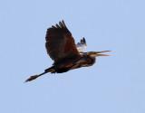 Purpurhäger  Purple Heron Ardea purpurea