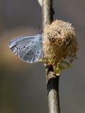 Tosteblåvinge - Holly blue - Celastrina argiolus