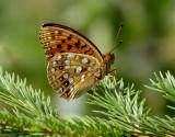 Skogspärlemorfjäril - High Brown Fritillary - Argynnis adippe