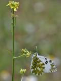 Grönspräcklig vitfjäril  Eastern Dappled White  Euchloe ausonia
