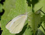 Kålfjäril  Large white  Pieris brassicae