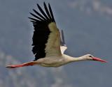 Vit stork  White stork  Ciconia ciconia