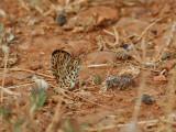 Lesser Spotted Fritillary  Melitaea trivia