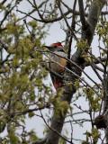 Mellanspett  Middle Spotted Woodpecker  Dendrocopos medius