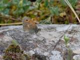 Kamgräsfjäril  Small heath Coenonympha pamphilus