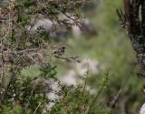Vitstrupig näktergal  White-throated Robin Irania gutturalis