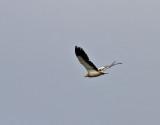 Smutsgam  Egyptian Vulture  Neophron percnopterus