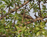 Olivsångare  Olive-tree Warbler  Iduna olivetorum