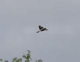 Svartpannad törnskata  Lesser Grey Shrike  Lanius minor