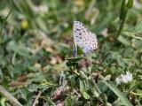 Bavius Blue  Pseudophilotes bavius