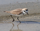 Svartbent strandpipare  Kentish Plover  Charadrius alexandrinus
